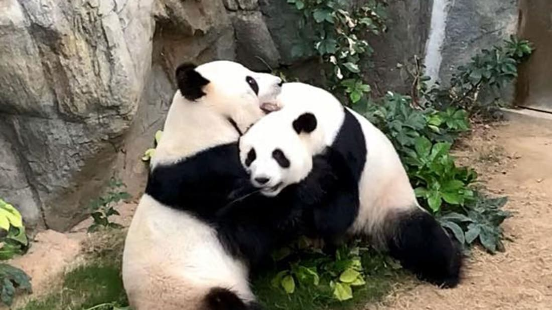 Two Pandas Finally Mate After 10 Years Once the Zoo Closed Due to COVID-19